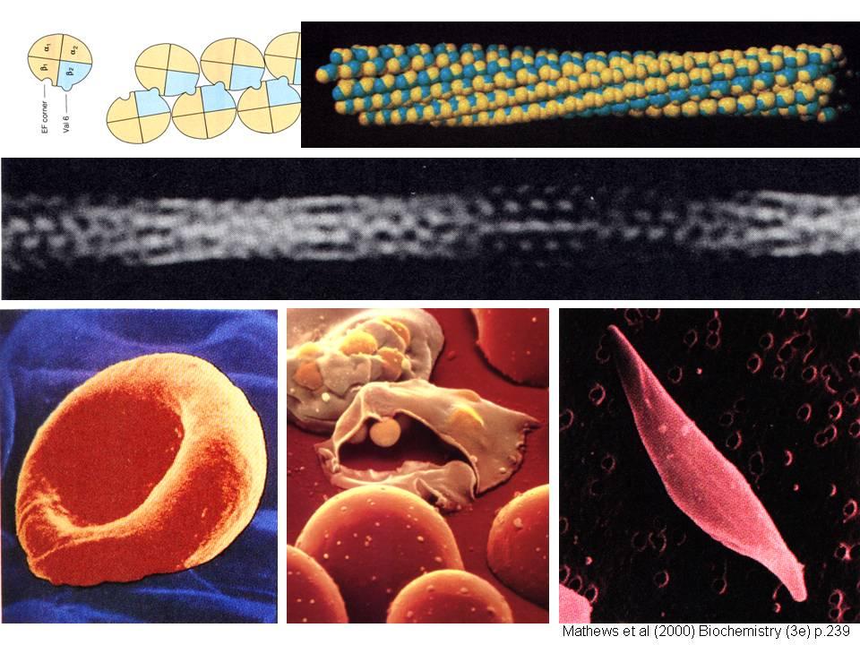 血红蛋白的演化历史极久